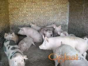 Prodajem svinje za klanje