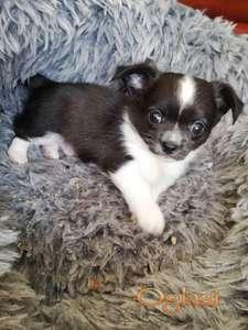 Preslatki psići Chihuahua