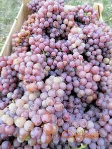 Traminac mirisni grožđe