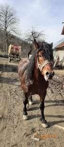 Bosanski hladnokrvni radni konj