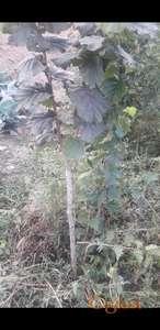 Kalemljeni lešnik