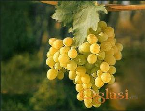 Prodajem belo grozdje za vino