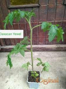 Paradajz Oaxacan yewel Sadnice