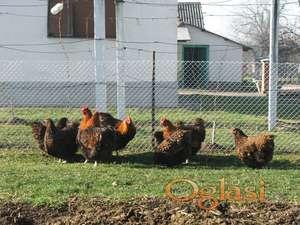 Zlatni Orpington jaja za nasad