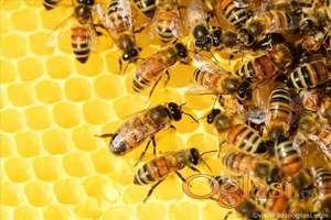 Prodajem 40 pčelinjih društava na 10 LR ramova