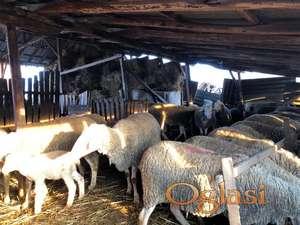 Na prodaju Vitemberg umatičeno stado