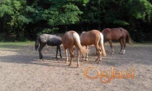Na prodaju rasni konji.
