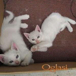 HITNO 4 Macica bela I siva 6 nedelja Ledinci izvor