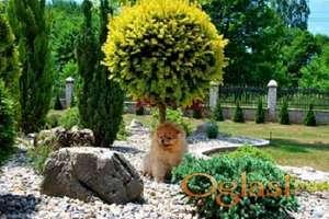 Beautiful puppies Boo Pomerance