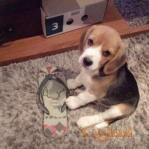 Štenad beagle spreman...+381616855019