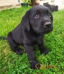 Labrador- štenci na prodaju