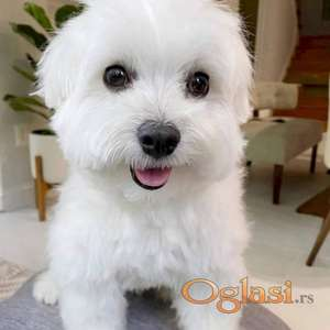 Malteški psići dostupni sada