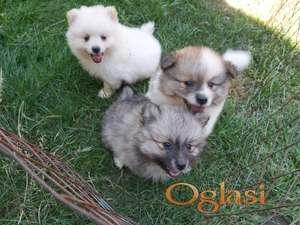 Pomeranski špic štenci