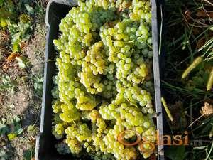Muscat Ottonel grožđe