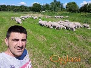 Prodajem umatičeno stado ovaca Il de France