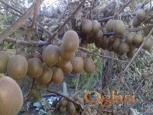 Kivi sadnice sorta Elizabeta Zlatni Kivi