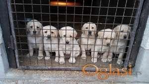 Stenci Labradora na prodaju