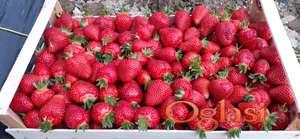 Rasad(sadnice,zivici)jagoda