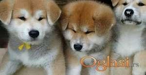 Akita inu i aljaski malamut štenci na prodaju