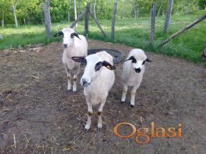 Umaticene ovce i jagnje