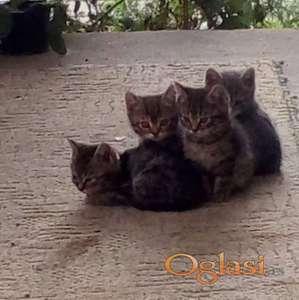 Poklanjam macice od 2 meseca - Novi Sad