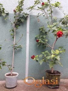 Hibiskus - Sobno cveće