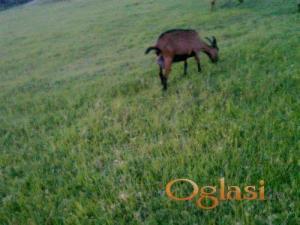 Alpino koze