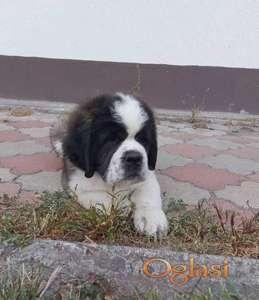 Bernardinac i bernski planinski pas štenci na prodaju