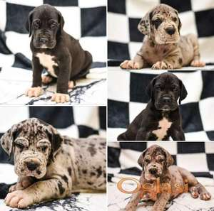 NEMACKA DOGA, GREAT DANE 5 top male puppies!