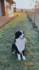 Pas odličnih karakteristika, krupan i kvalitetnih šara spreman za parenje!!!