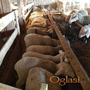 Virtenberg ovce
