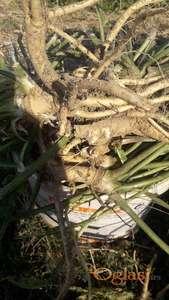 Ren u korenu, sadnice Rena