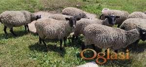 Romanovske sjagnjene neumatičene ovce na rate