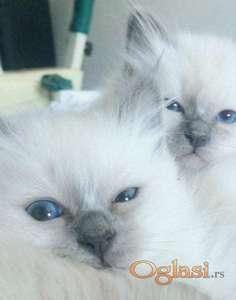 SVETA BIRMA cistokrvni macici