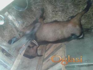 Prodajem umatičene koze