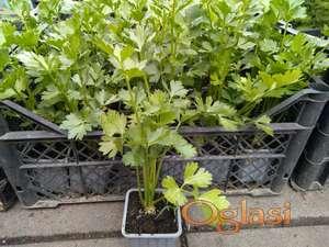 Celer Korenas sadnice