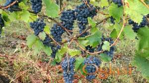 grozdje za vino