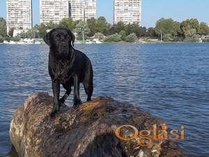 Labrador slobodan za parenje