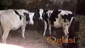 Krava i Junice