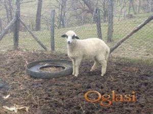 Umaticeno zensko jagnje