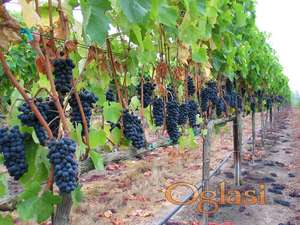 Prodajem grozdje