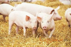 Sve vrste koncentrata za svinje