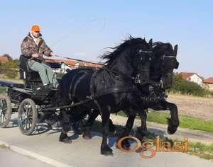 Par frizijskih konja