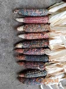 Šareni indijanski kukuruz