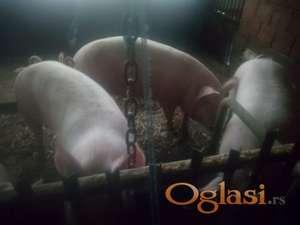 Prodajem Debele svinje od 100 do 150 kilograma