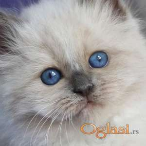 SVETE BIRME  čistokrvni mačići