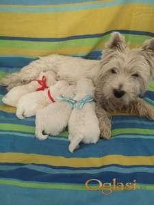 Zapadnoškotski beli terijer - štenci