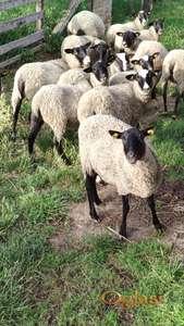 Romanovske odlučene neumatičene ovce na rate