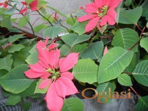 Potočac Kućne biljke Bozicna zvezda