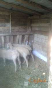 tri mlade vinterberg ovce